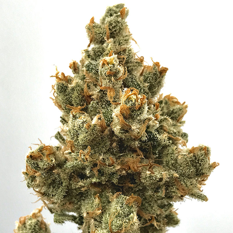 Jack Herer (Sativa) - Powered by Cali Kush Farms